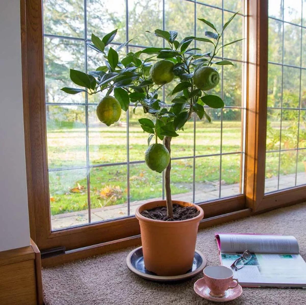 Как ухаживать за денежным деревом ( крассулой) в горшке в домашних условиях