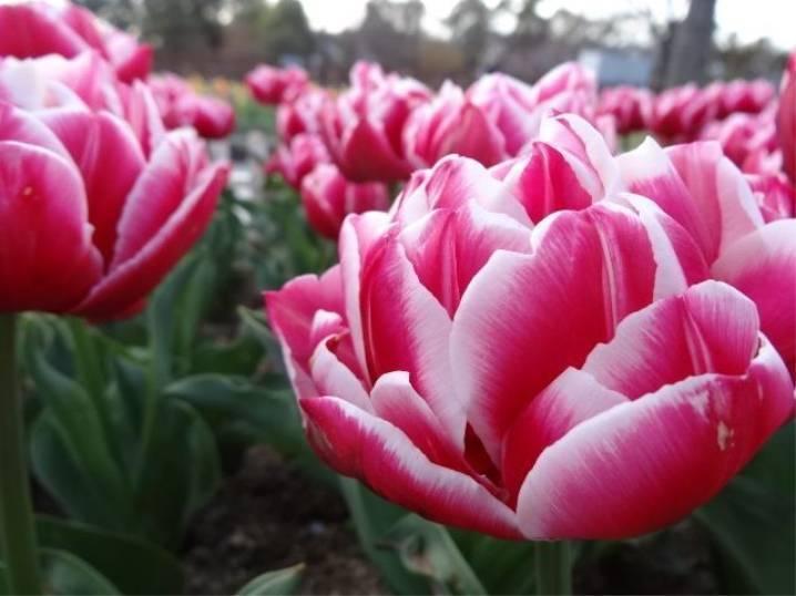 Новинки голландских тюльпанов