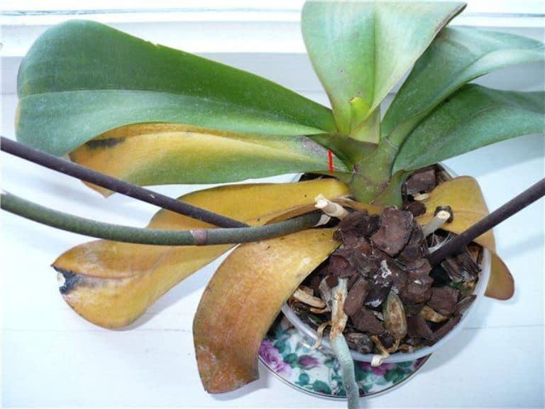 Почему у орхидеи желтеют листья? что делать, как спасти растение