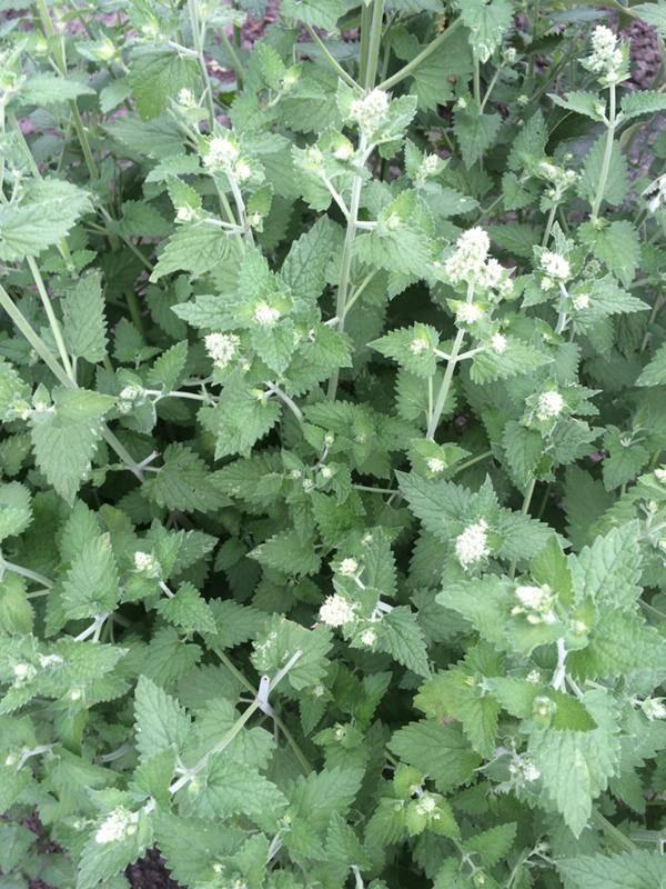 Лекарственная трава мелисса: описание, фото, а также интересные факты о растении