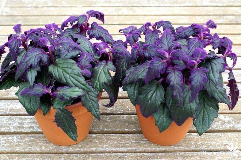 Гинура цветок — уход, цветение плетеносной, фиолетовой и вариегатной