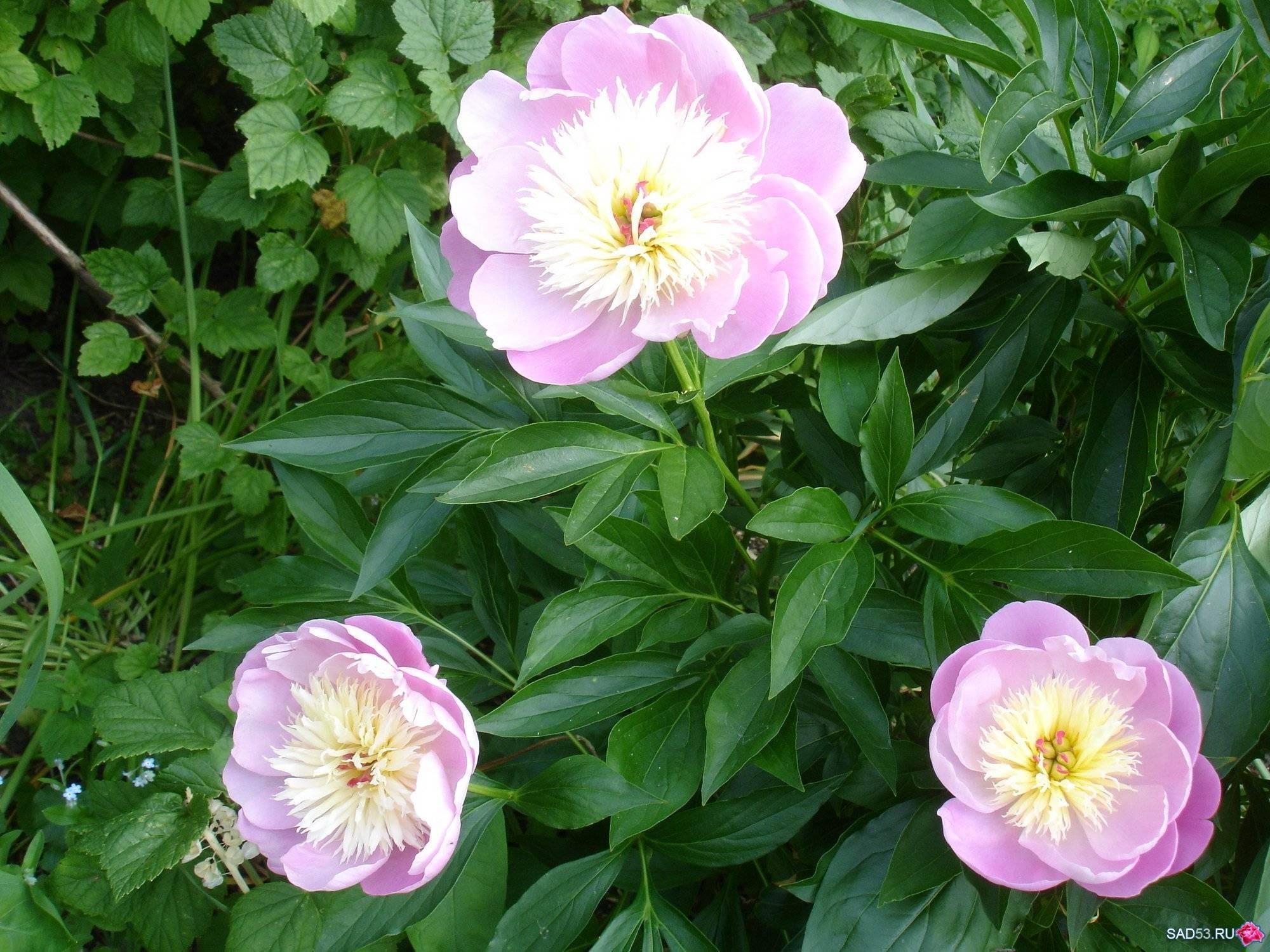Пион боул оф бьюти (paeonia bowl of beauty) — выращивание на участке