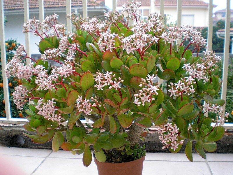 Уход за крассулой микс в домашних условиях: как цветет денежное дерево