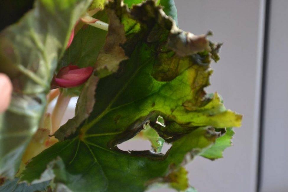 Бегония клубневая почему не цветет: от чего опадают бутоны, сохнут или скручиваются листья, как заставить растение распускаться, фото болезней и вредителей
