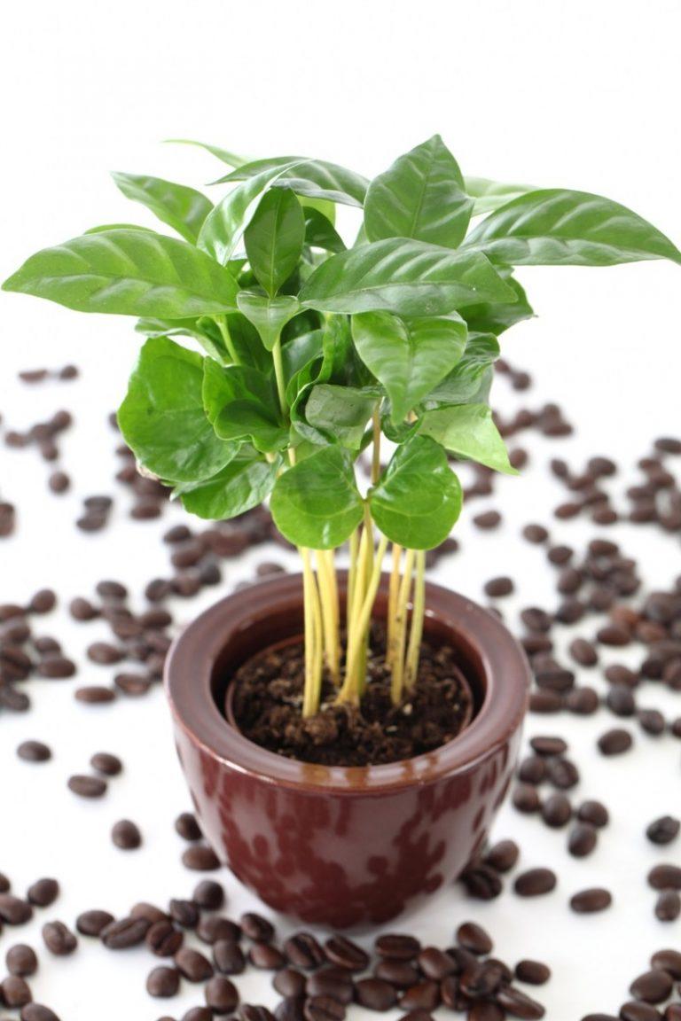 Выращивание кофе арабика в домашних условиях – подкормки, подбор грунта, уход за растением