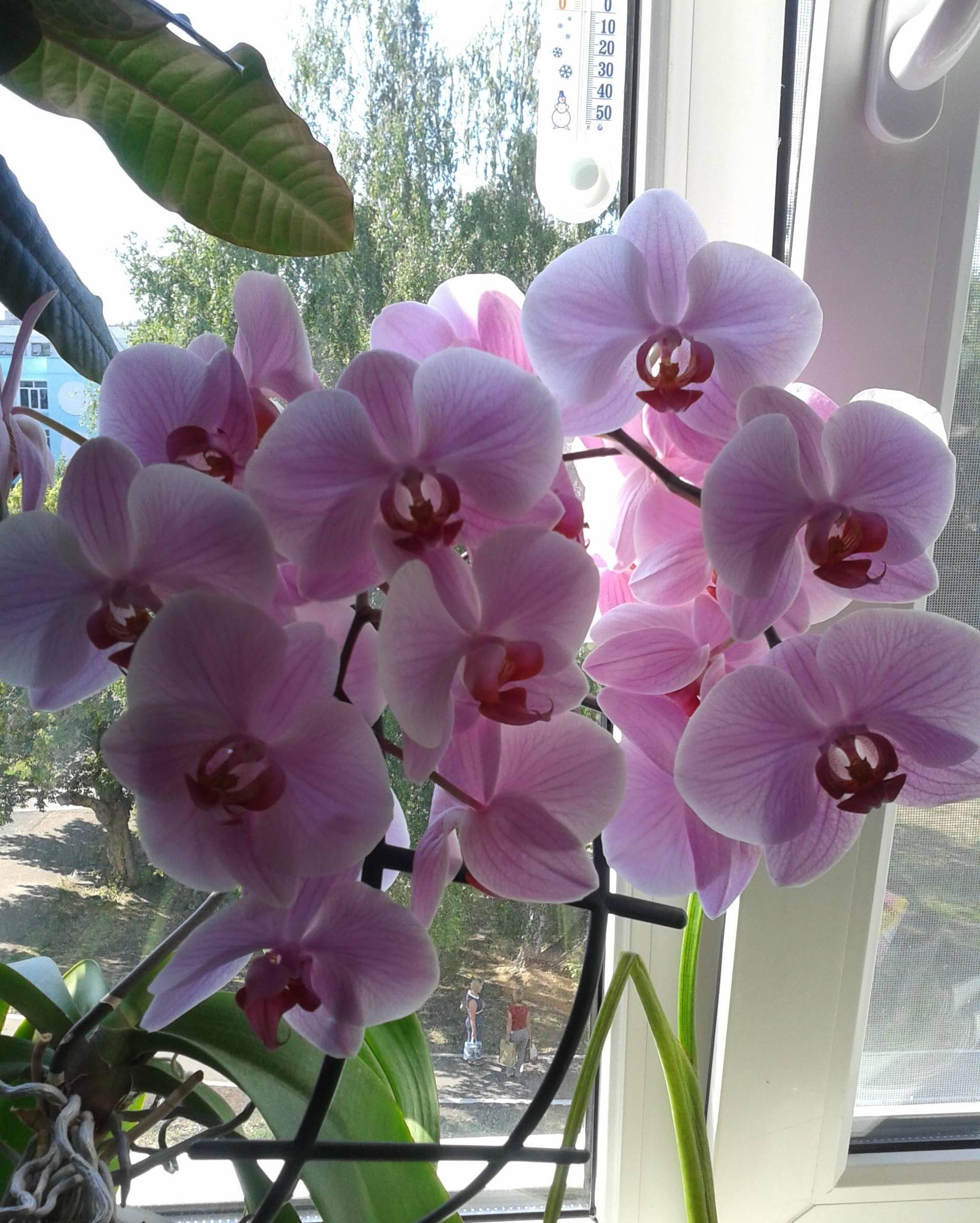 Почему опадают бутоны у орхидеи: основные причины сбрасывания - pocvetam.ru