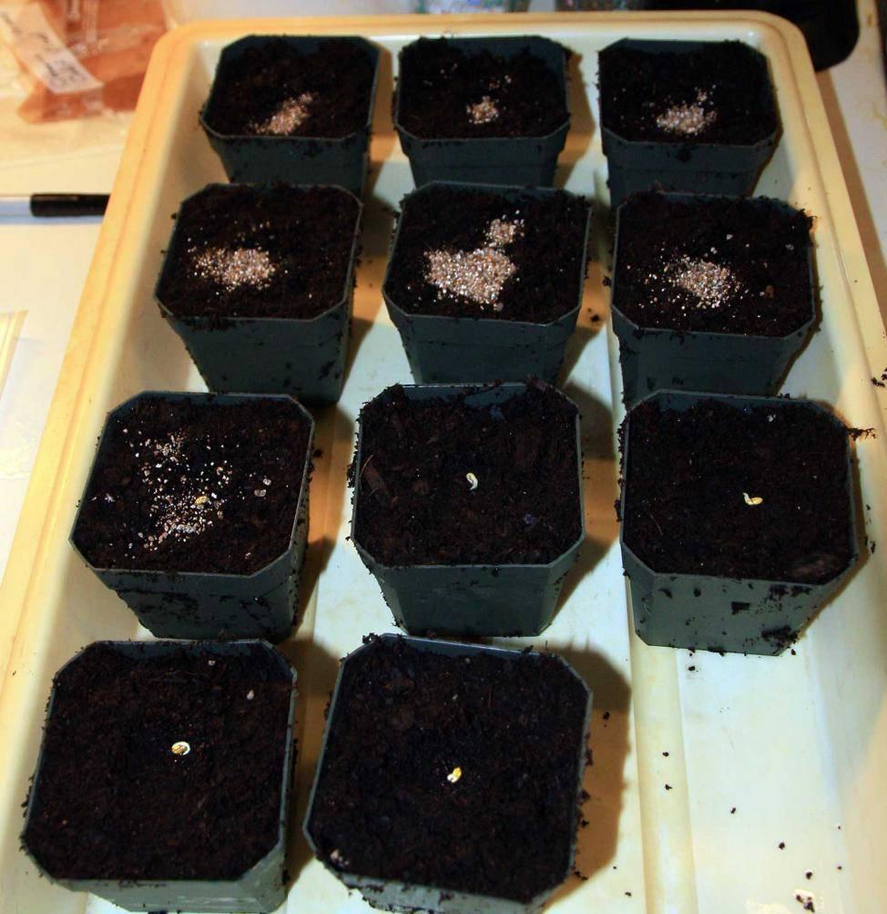Как выглядят семена герани, как их собрать самостоятельно и как хранить?