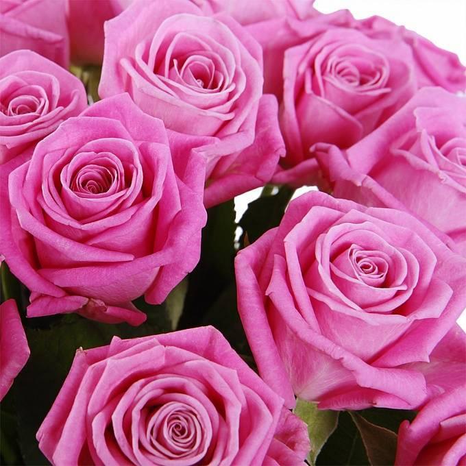 Роза аква (aqua): описание, преимущества и недостатки сорта, выбор места, условия выращивания, правила ухода, особенности поливов, подкормок, отзывы