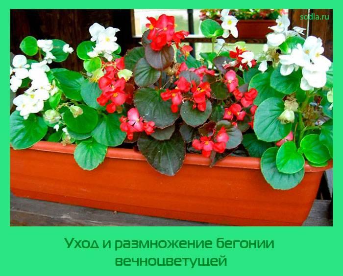 Растение бегония вечноцветущая в домашних условиях и саду