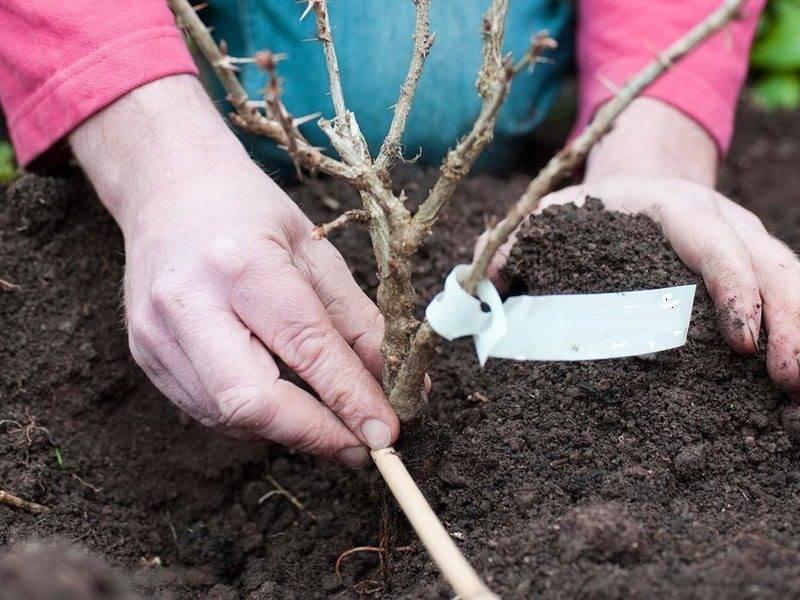 Когда лучше пересадить крыжовник на новое место осенью или весной?