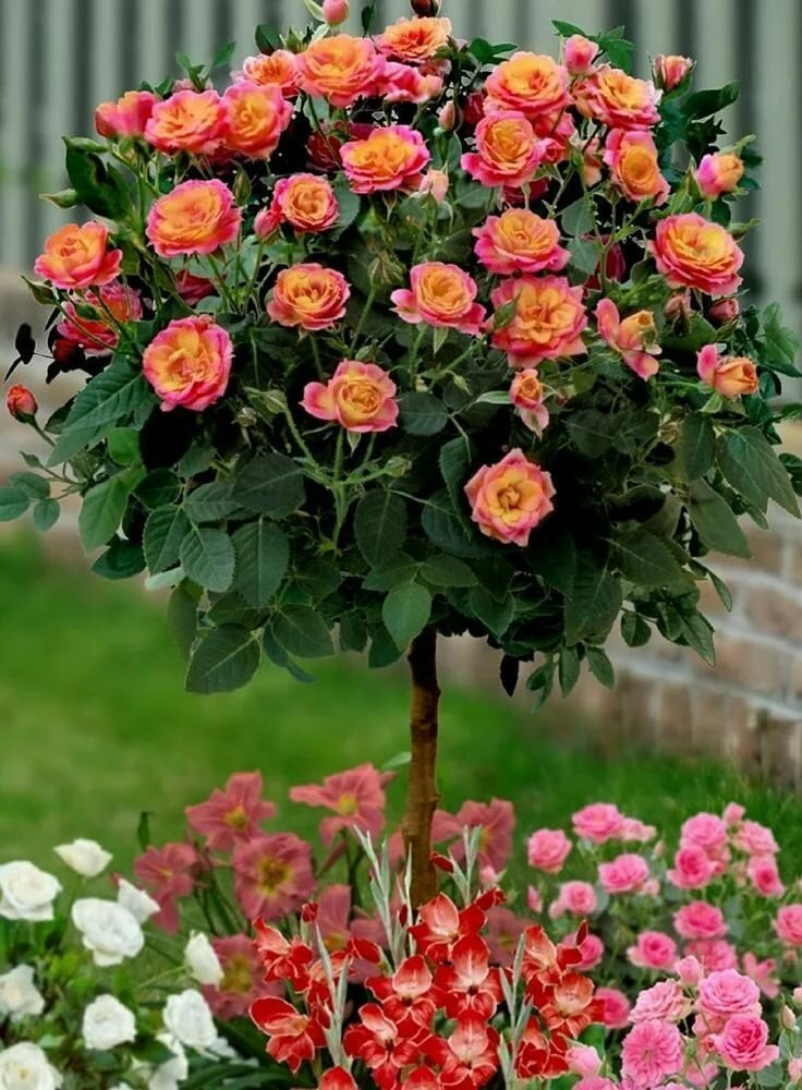 Роза Румба (Rumba) — характеристики клайминга
