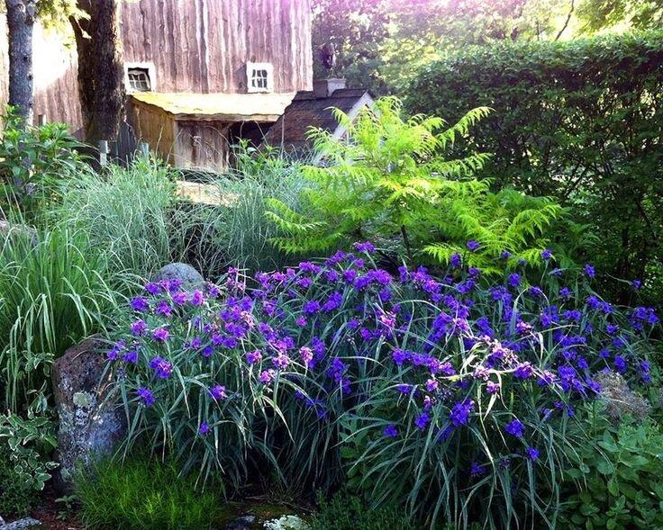 Как вырастить традесканцию андерсона в своем саду