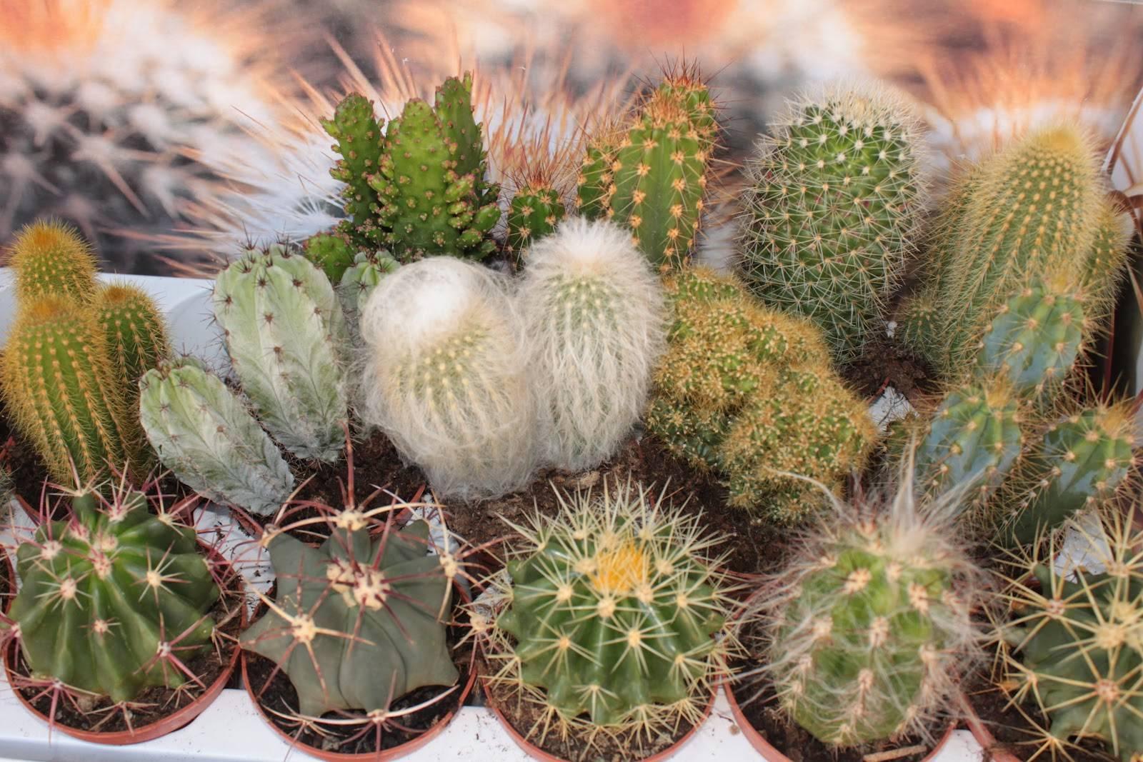 """Кактус """"цереус"""" (28 фото): виды """"трихоцереус"""", гигантский, лазурный и """"хамецереус сильвестра"""". как содержать растение в комнате?"""