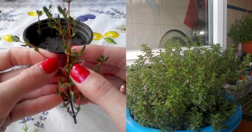 Тимьян (чабрец): выращивание из семян в домашних условиях и в открытом грунте