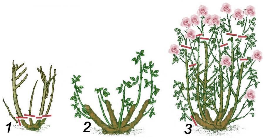 Важна ли обрезка роз летом и как её правильно делать