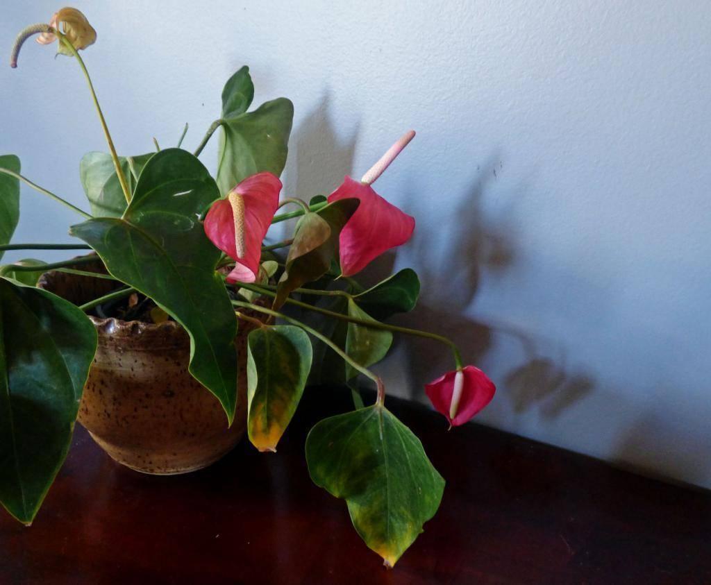 Причины пожелтения листков у антуриума в домашних условиях: как вылечить, пересадка