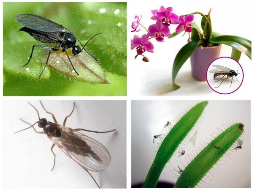 В орхидее завелись мошки - что делать? как от них избавиться? почему они появились в горшке? чем можно обработать комнатный цветок?