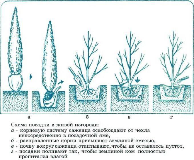 Как ухаживать за туей и высаживать в открытый грунт весной, как обрезать