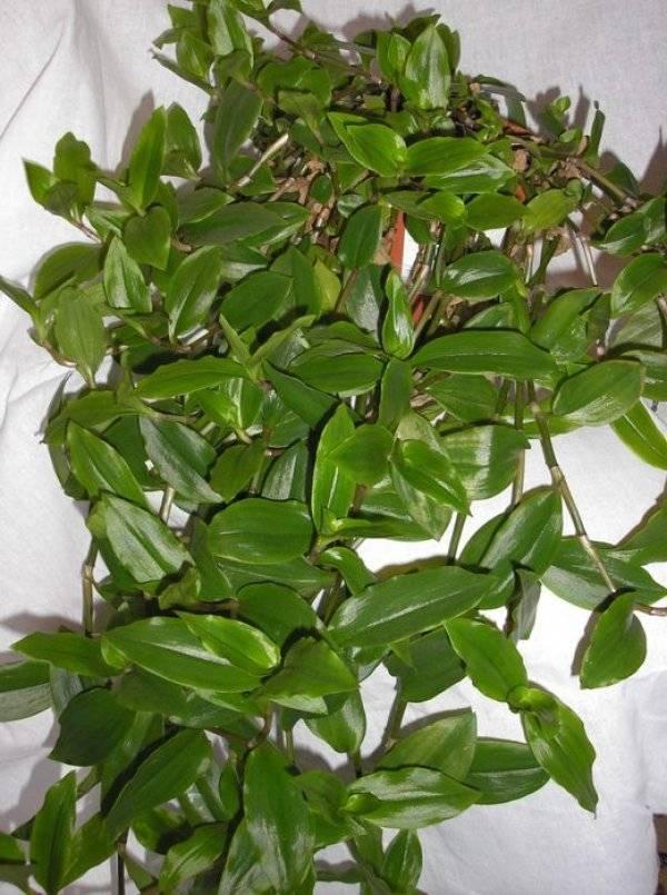 Растение традесканция: виды и уход в домашних условиях