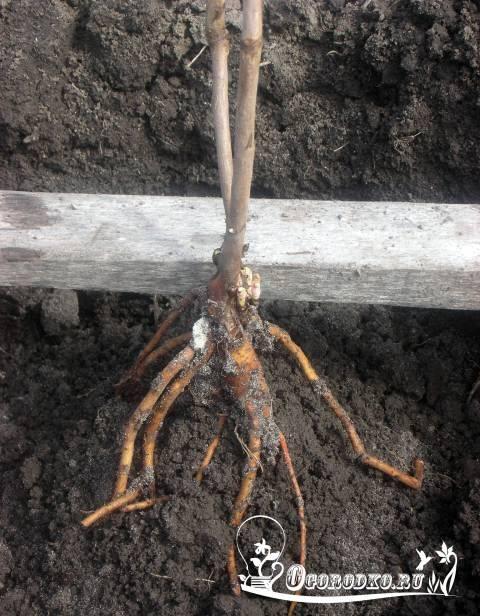 Ито-гибриды: что это за пионы, их правильная посадка, уход и размножение