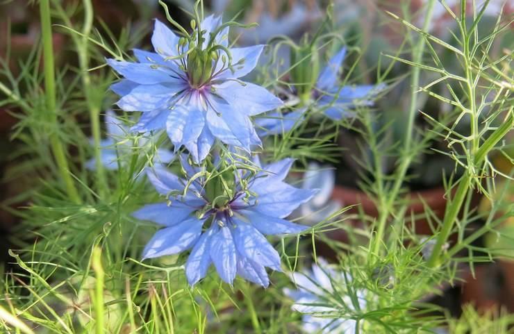 Нигелла дамасская выращивание из семян, посадка и уход. фото