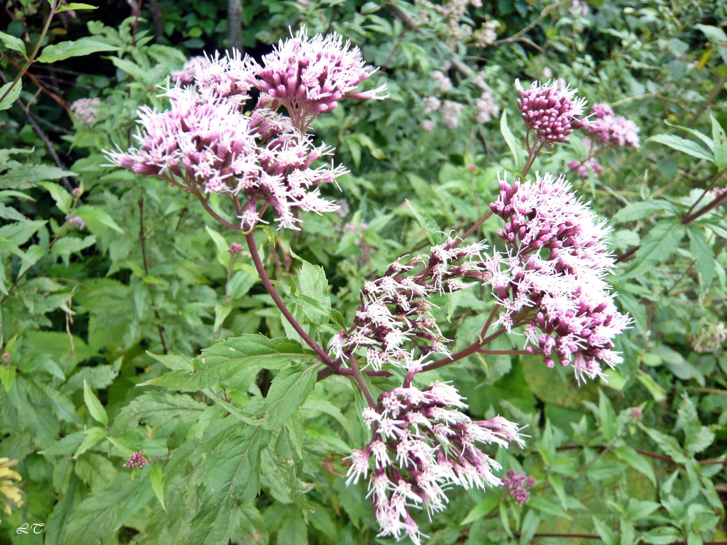 Посконник (47 фото): посадка и уход за цветком в открытом грунте, использование растения в ландшафтном дизайне, описание видов и сортов