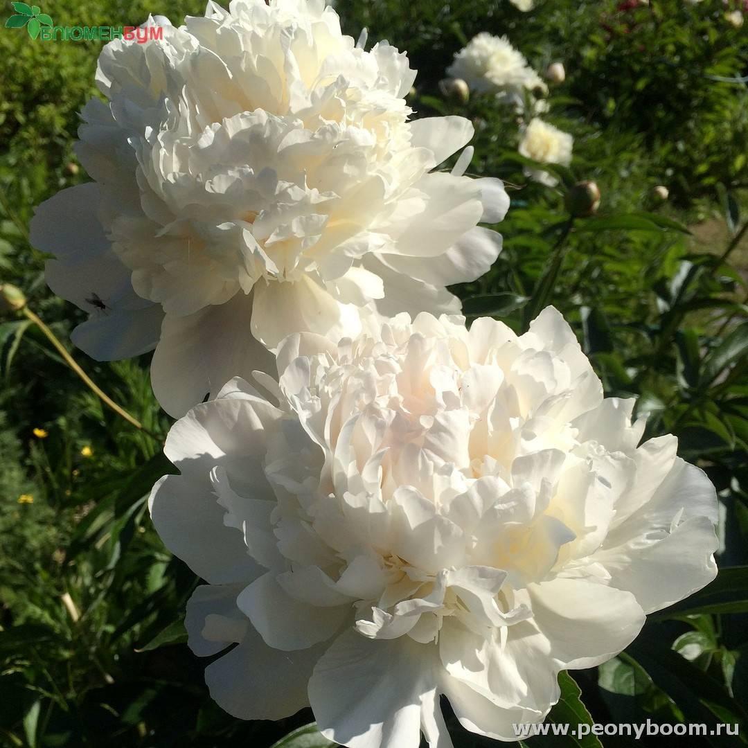 Фестива максима (пион): описание - садовые цветы, растения и кустарники - 2020