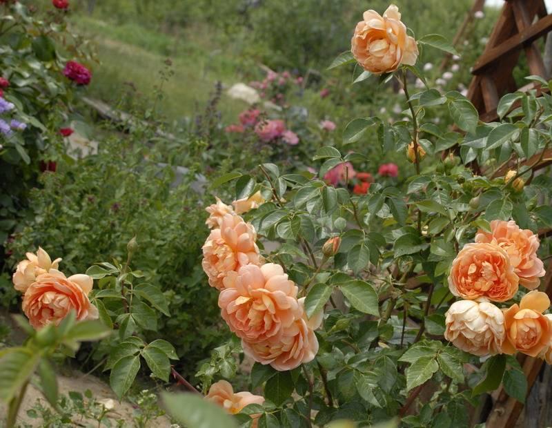 Посадка и выращивание английской розы сорта уизли: уход за остинкой, цветение