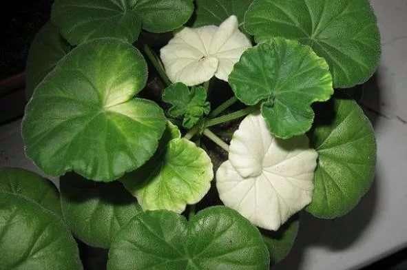 Почему белеют листья у герани комнатной, особенно летом, а также что делать если они светлеют и становятся бледно-зелеными?