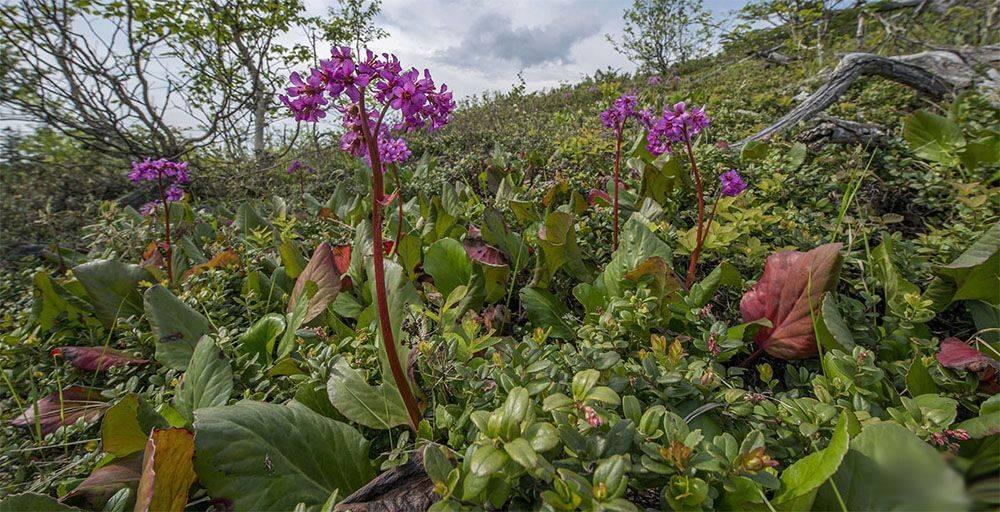 Бадан: посадка и уход в открытом грунте, размножение