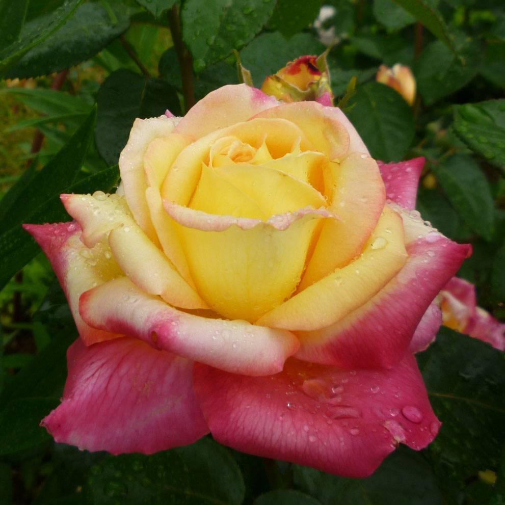 Роза восточный экспресс: описание и фото сорта, история возникновения, цветение и использование в ландшафтном дизайне, уход и размножение, болезни и вредители