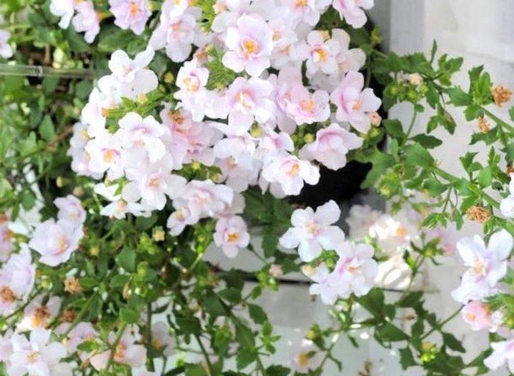 Бакопа ампельная: 5 популярных сортов, тонкости выращивания и отзывы садоводов