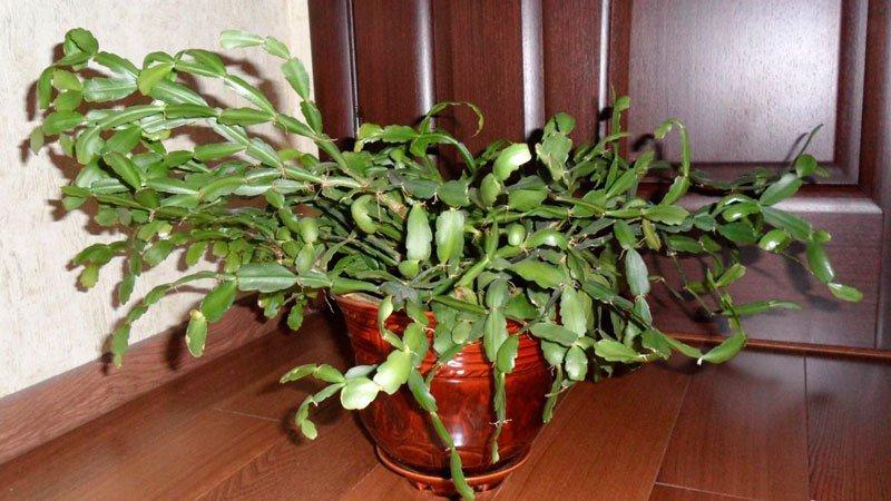Декабрист болезни листьев