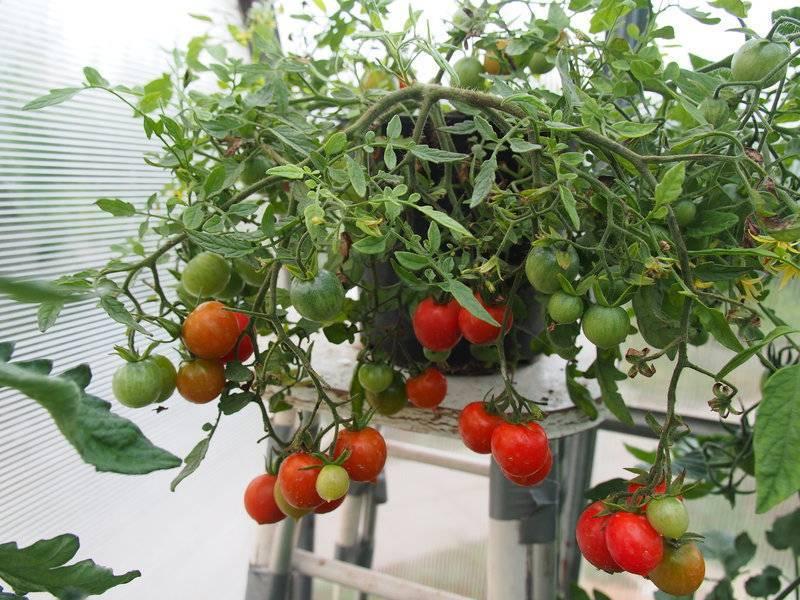 Как правильно формировать в открытом грунте куст помидоров (томатов) низкорослых и высокорослых сортов