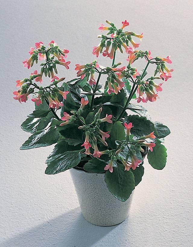 Красные комнатные цветы и фото домашних растений с красными цветами