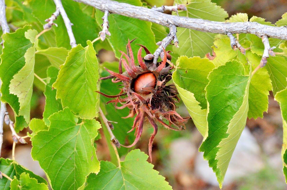 Фундук и лещина (лесной орех) — в чём разница и особенности
