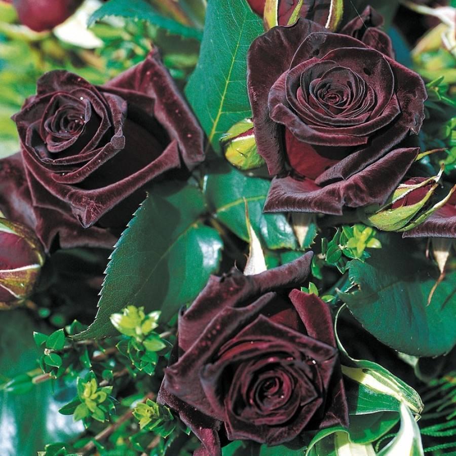 Характеристики и описание гибридной розы сорта блэк баккара, посадка и уход