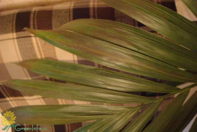 Почему желтеют листья у пальмы хамедорея. хамедорея - сохнут листья – что делать? уход за хамедореей в домашних условиях
