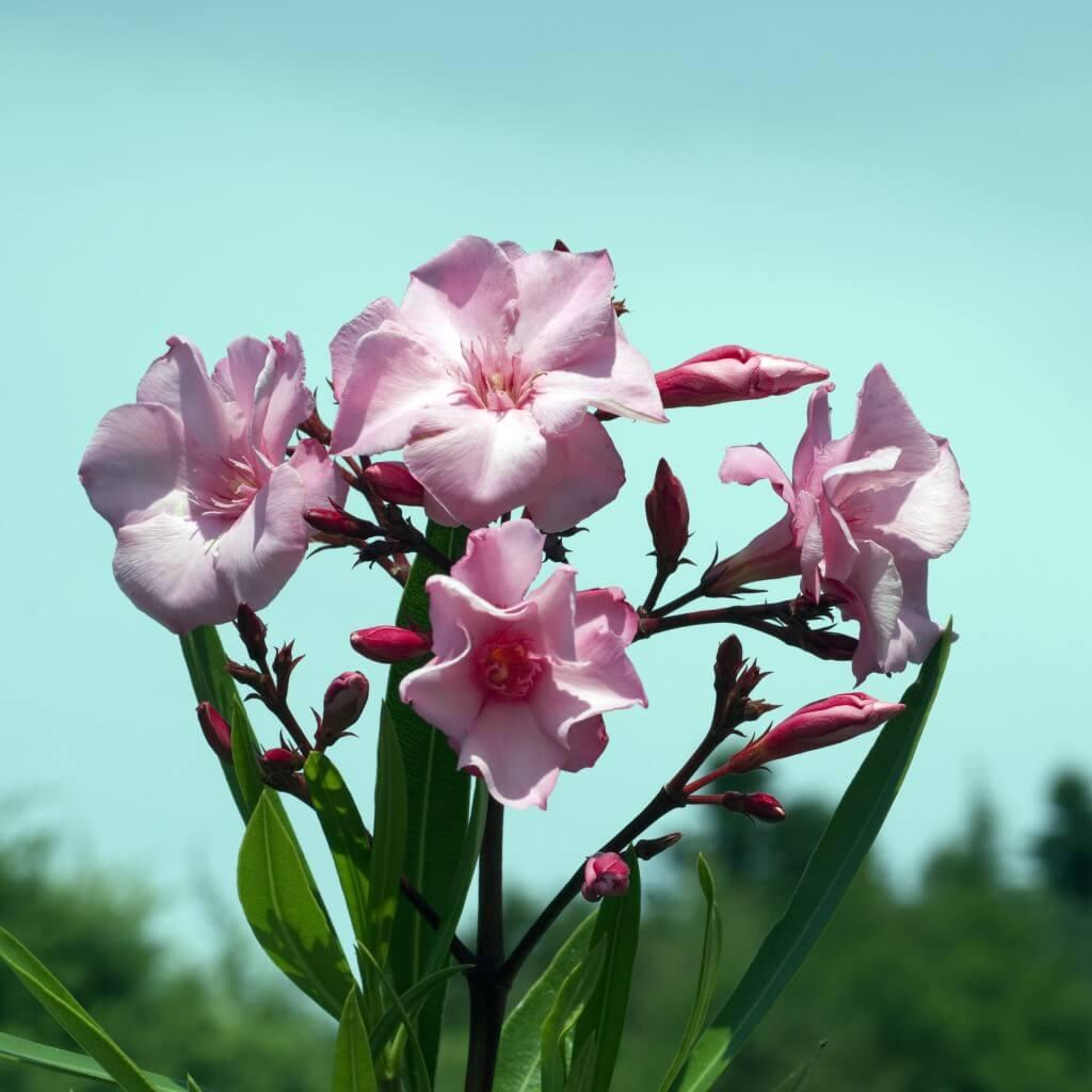 Олеандр — ароматный источник благополучия