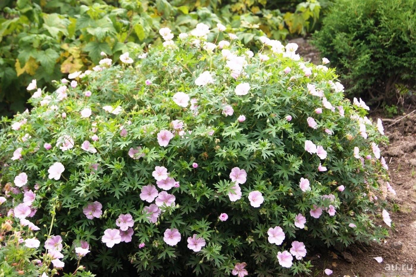 Герань гибридная: ботаническое описание и внешний вид растения, популярные сорта патриция, блу блад, розанна и другие, особенности ухода, болезни и вредители