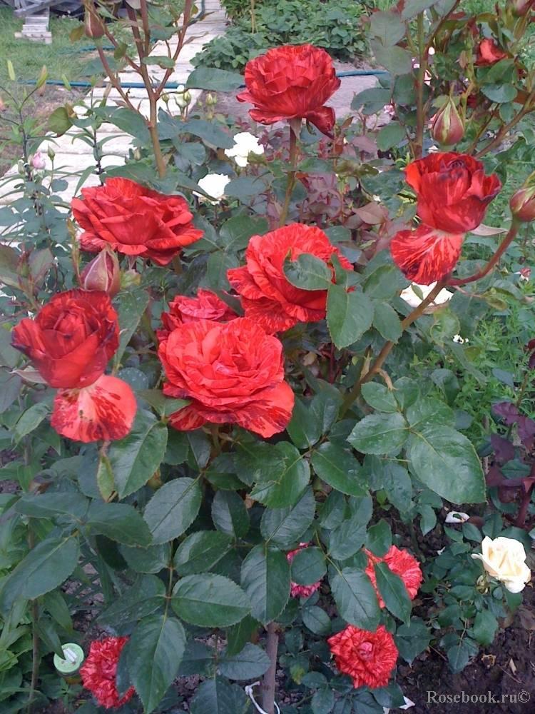 Чайно-гибридные розы: выращивание и уход в саду