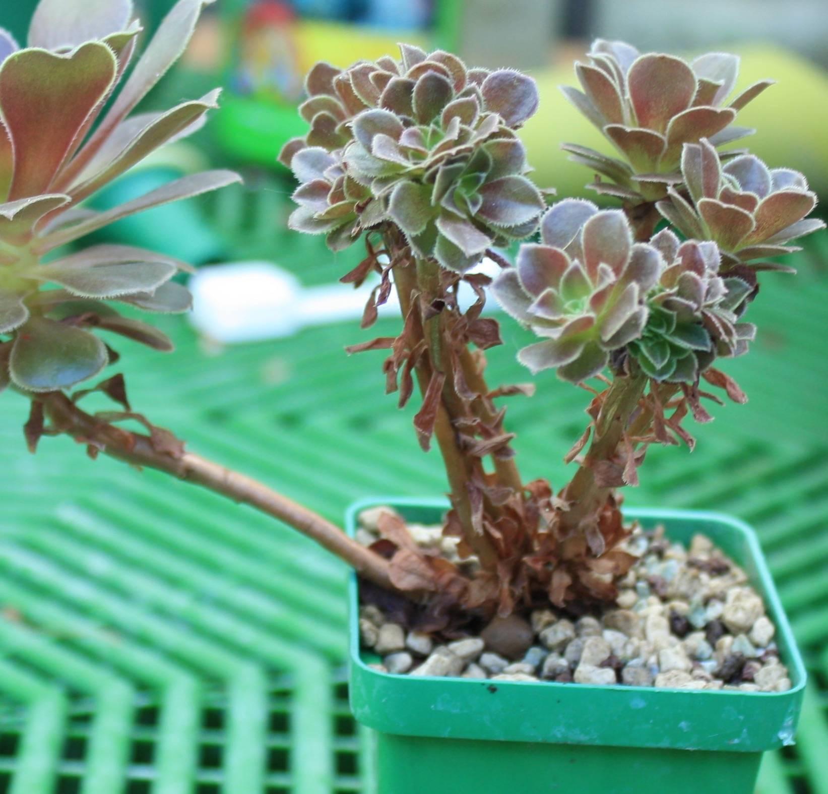 Варианты ухода за цветком дримиопсис дома: примеры цветения и размножения