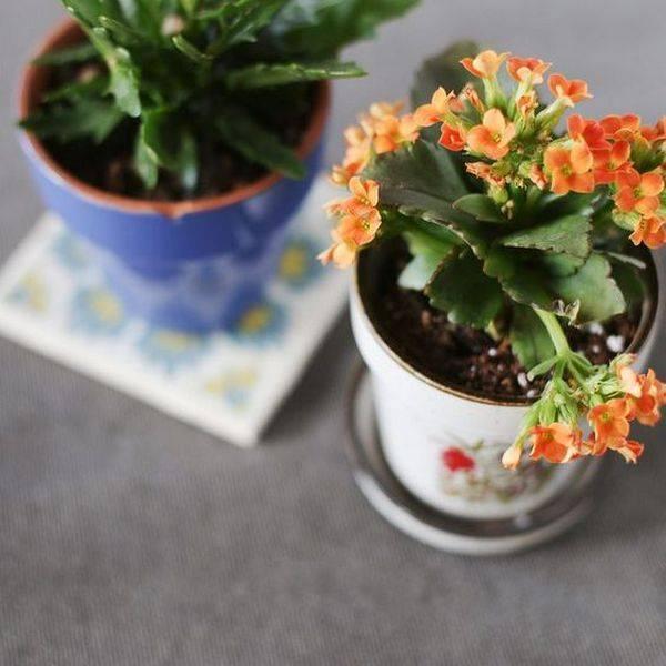 Каланхоэ блоссфельда: уход в домашних условиях, описание растения с фото