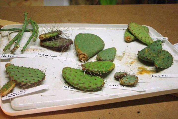 Домашний кактус опунция – уход, описание виды и размножение
