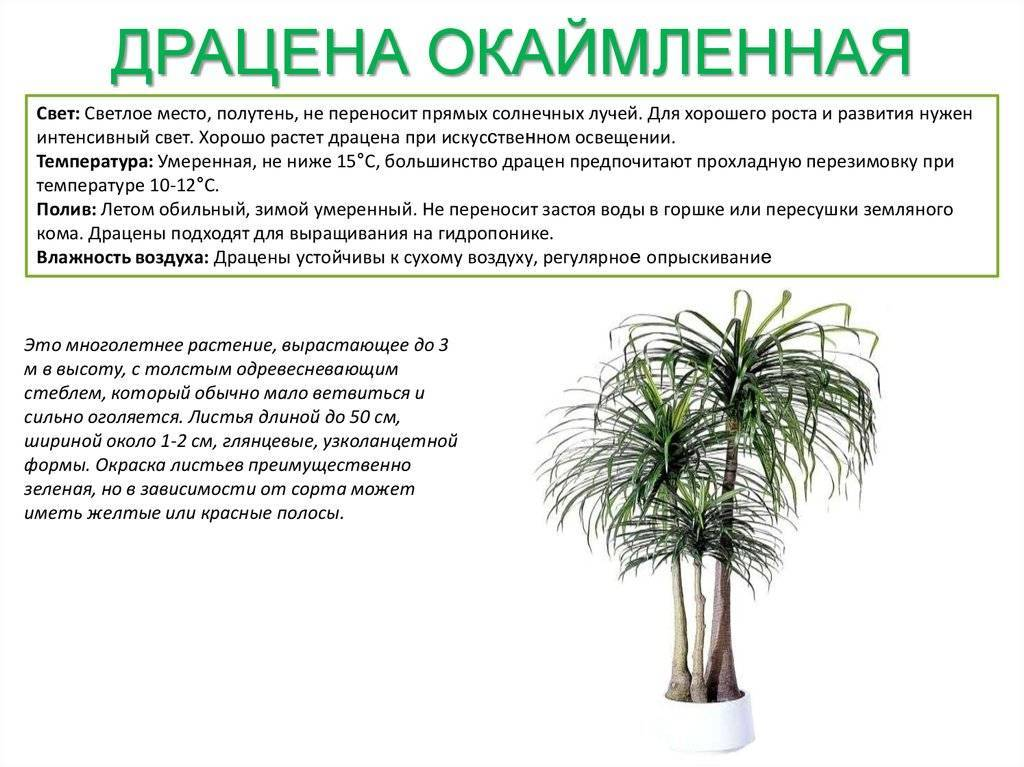 Цветок юкка: описание, уход в домашних условиях и открытом грунте, размножение и пересадка