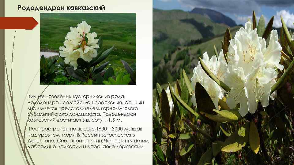 Рододендрон кавказский — википедия с видео // wiki 2