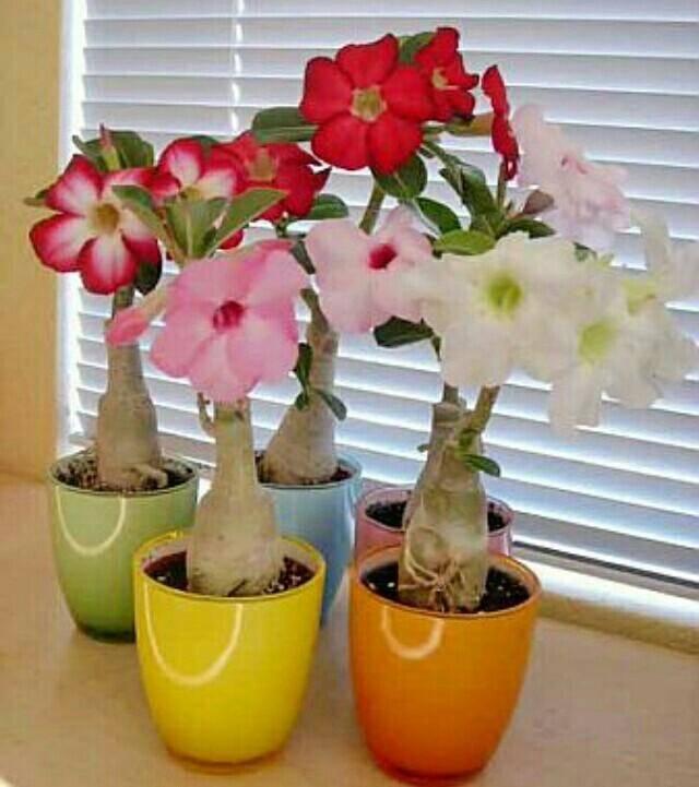 Адениумы - уход в домашних условиях, выращивание цветка из семян