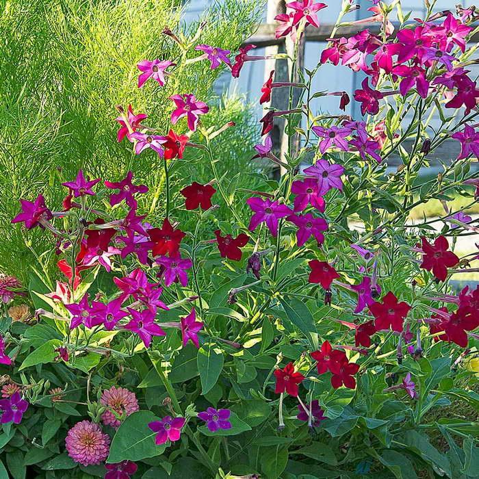 Душистый табак — чарующее украшение сада