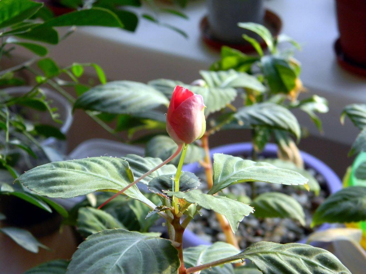 Почему опадают бутоны у розы комнатной