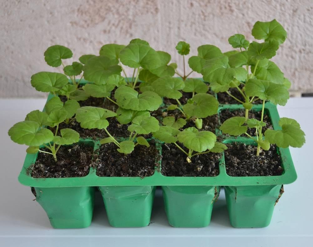 Выращивание гортензий семенами: от посева до высадки в открытый грунт